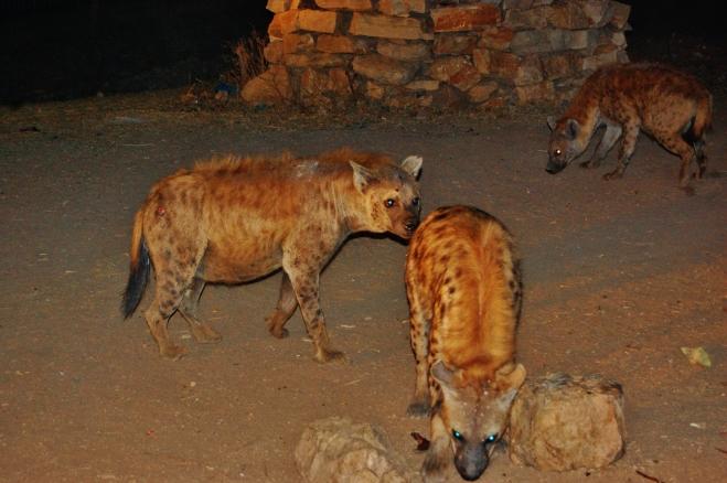 hyènes harar